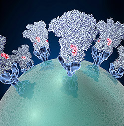 Coronavirus (green globe) with glycoproteins (blue cone-shaped structures) studding the surface. Credit: David Veesler, University of Washington.