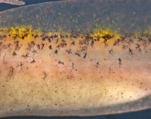 Salamander skin