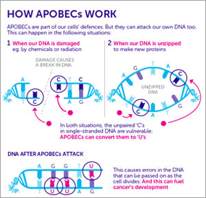 How APOBECs Work inforgraphic