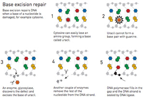 Base excision repairs DNA when a base of a nucleotide is damaged. For example cytosine. Cytosine can easily lose an amino group, forming a base called Urasil. Uracil cannot form a base pair with guanine. An enzyme, glycosylase, discoers the defect and excises the base of uracil. Another couple of enzymes remove the rest of the nucloetide from the DNA strand. DNA polymerase fills in the gap and the DNA strand is sealed by DNA ligase.