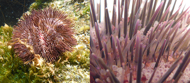 sea urchin regeneration may help us understand aging biomedical