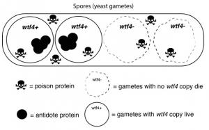 Spores (yeast gametes)