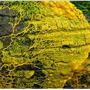 Myxomycete