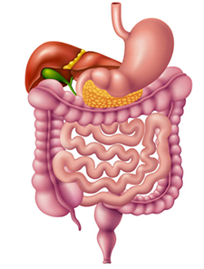 Illustration of human digestive system, including the stomach, liver, gall bladder, small intestine, and colon.