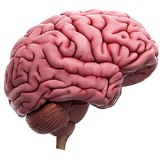 Realistic-looking illustration of a human brain in shades of pink.