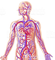 Illustration of a human torso and arms showing the circulatory system, with the heart and arteries in red and veins in blue.