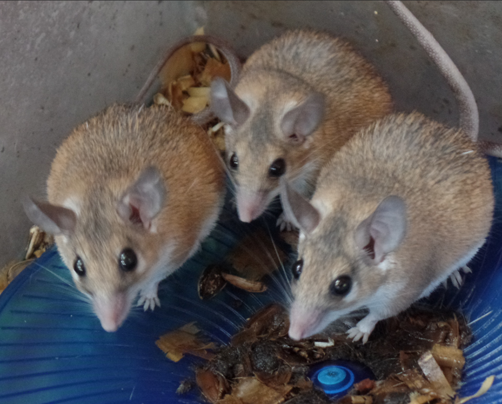 Three beige-colored mice with black eyes and long, hairless tails.