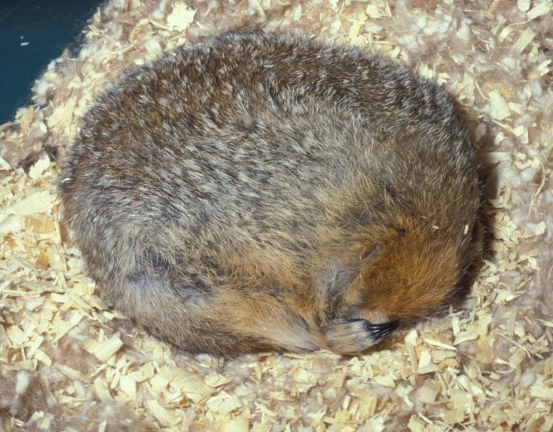 A brown-furred Arctic ground squirrel curled into a ball as it sleeps during hibernation.