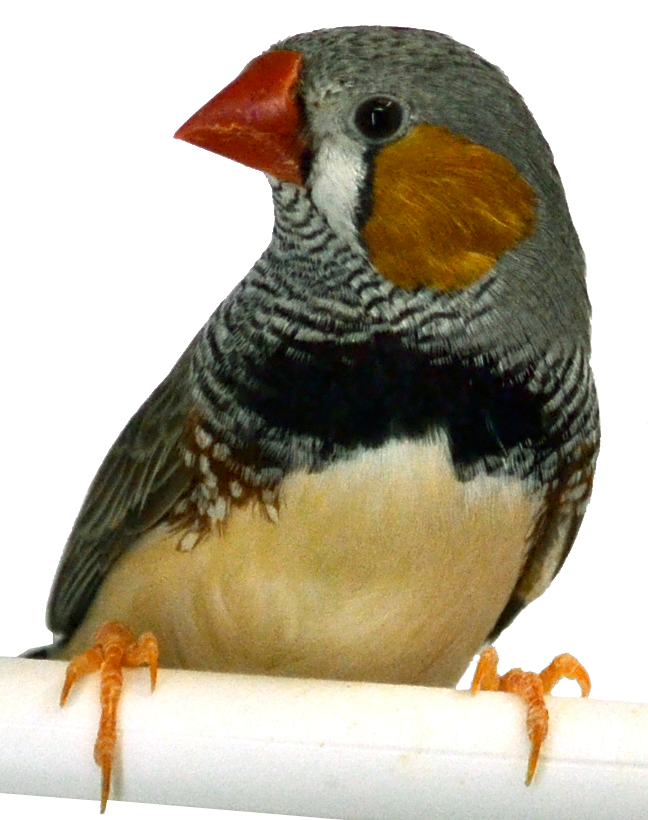 A perched Australian zebra finch with grey feathers, white-feathered breast, brown patch on its cheek, and a red beak.