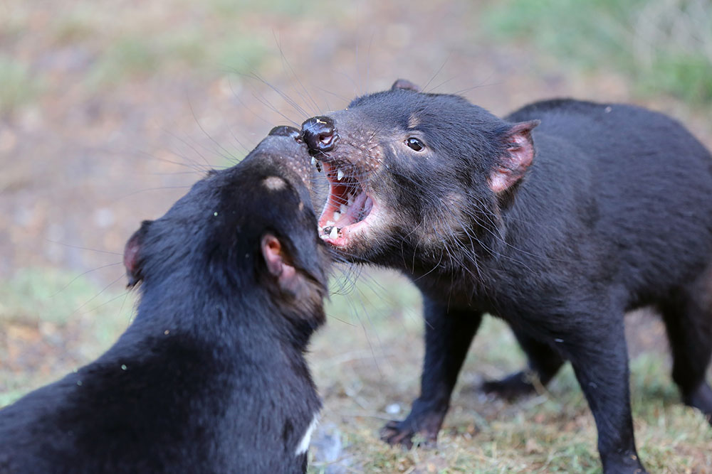 Two black-furred Tasmanian devils lunging at each other in a fight with open mouths and bared teeth.