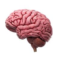 Illustration of the outer brain.