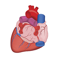 Illustration of the heart.