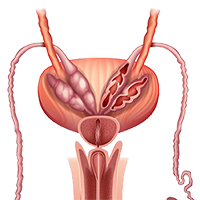 Illustration of a male prostate.