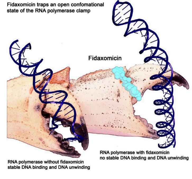 RNAP illustrated as a crab claw, clamping on a DNA double helix.