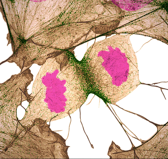 A human fibroblast cell dividing. A tan-colored area surrounds the cell that contains two magenta-colored centers. Green dots line the area where the cell is dividing.