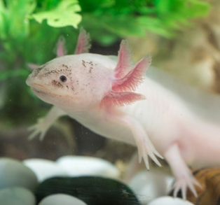 A pale pink and white salamander in water surrounded by green plants.