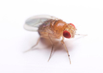 A fruit fly with red eyes, clear wings, and a tan body standing on a white background.