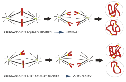 Illustration of two sets of chromosomes being pulled apart. One pair separates evenly and is labeled normal, but the other doesn't and is labeled aneuploidy.