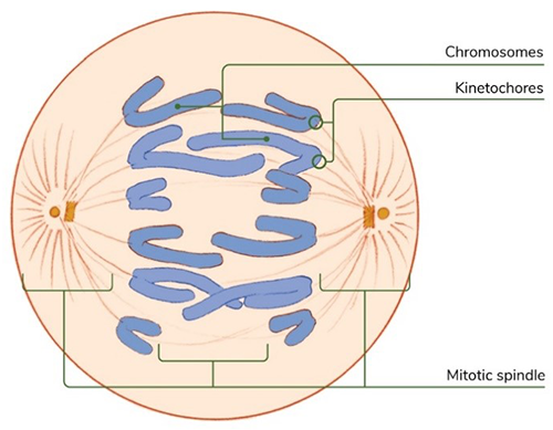 Illustration of a cell undergoing mitosis with six sets of chromosomes being pulled apart.