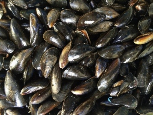A pile of ocean mussels with shiny black shells.