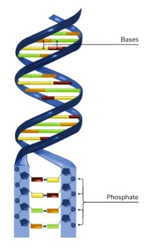 An illustration of a DNA helix with blue sides and red, yellow, orange, and green bases.