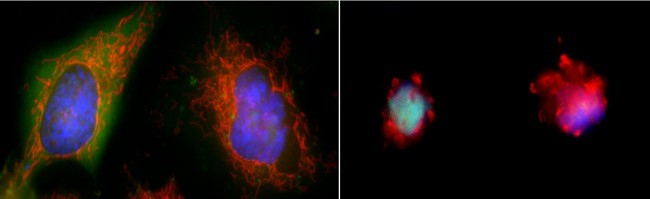 On the left, two large cells with clear, smooth edges. On the right, two smaller cells with ragged edges.