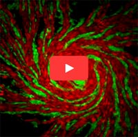 Video screen shot showing different strains of amoeba cells in red and green. Credit: Shigenori Hirose, Baylor College of Medicine.