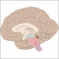 Illustration showing where LDT and PPT areas are located in the human brain. Credit: Wikimedia Commons.