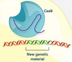 New genetic material incorporated into the broken DNA