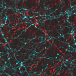 Neurons activated with red or blue light. Credit: Yasunobu Murata/McGovern Institute for Brain Research at MIT.