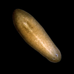 Planarian.  Credit: Alejandro S�nchez Alvarado, Stowers Institute for Medical Research.