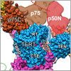 Telomerase and its components. Credit: UCLA Department of Chemistry and Biochemistry.