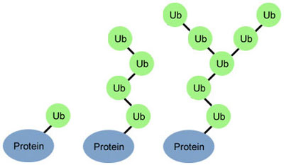 Ubiquitin (Ub) molecules