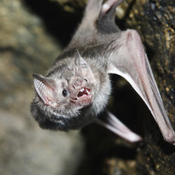 Vampire bat. Credit: Stock image